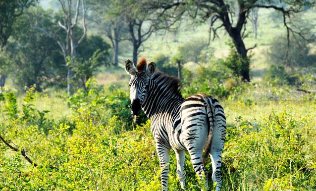 zebra-sabi-sand-safari