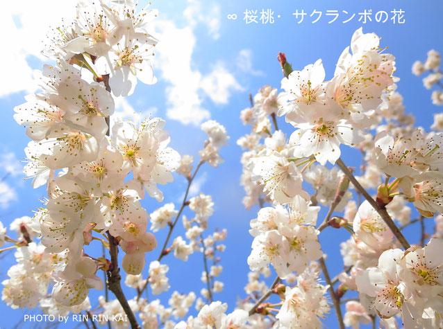 ∞ 桜桃・サクランボの花 (バラ科サクラ属) 2017年4月撮影