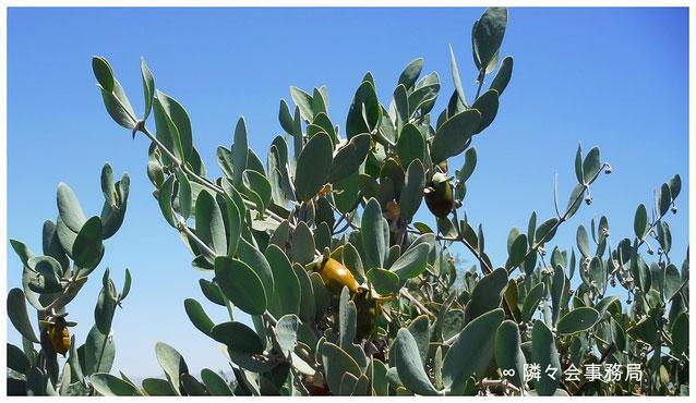 ∞ SMART POWER PLANT 原種ホホバ JOJOBA SEED ORIGINAL SPECIES アリゾナ州原産