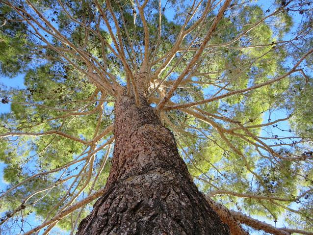 ★☺☆ 松の木 ☆☺★