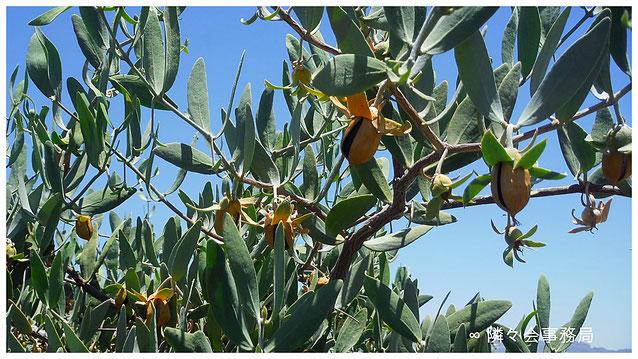 ∞ Spiritual Beauty ♥ 私達のアリゾナ州ハクアハラバレー原産原種ホホバ種子もお陰様で実りました♪