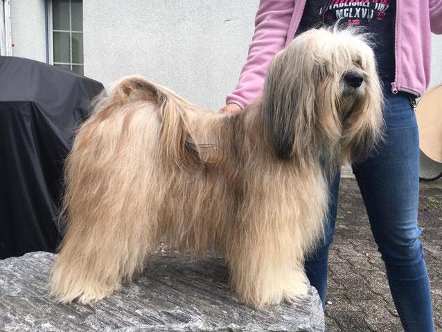 Yarmothang Da-Cha Shiwa mit fast 5 Jahren. Etwas dünn im Haar aber doch sehr schön nach 8 Welpen gross ziehen.
