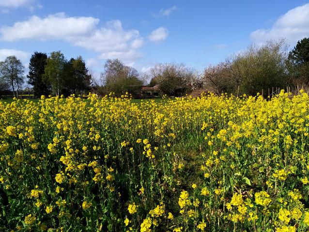 Zwischenfrucht statt Raps: Dieses Blühfeld hinter unserem Haus blüht bereits seit Ende März. Im Hintergrund ist der Bienenstand zu sehen.