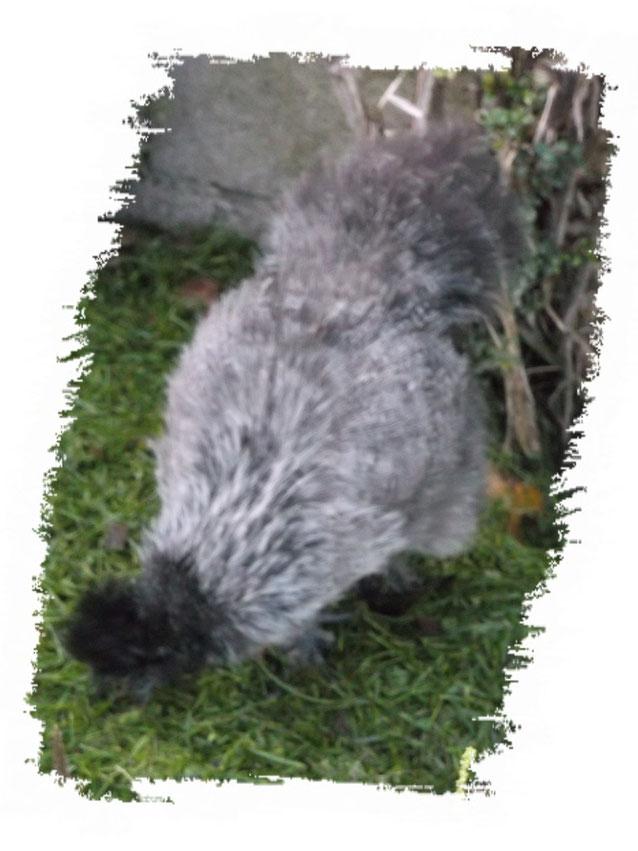 Poule-Soie grise