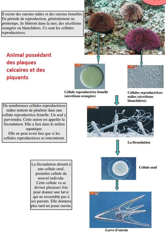 Reproduction et développement des oursins. Source: ?