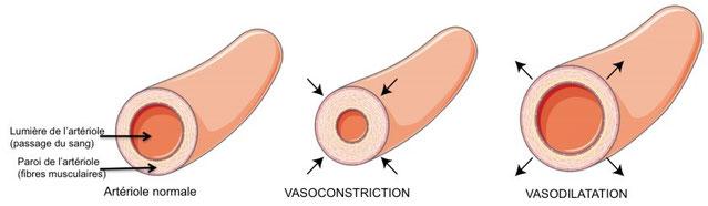 Diamètre normal et vasoconstriction d'une artère par  contraction des muscles lisses de la média des artères. Source : ?