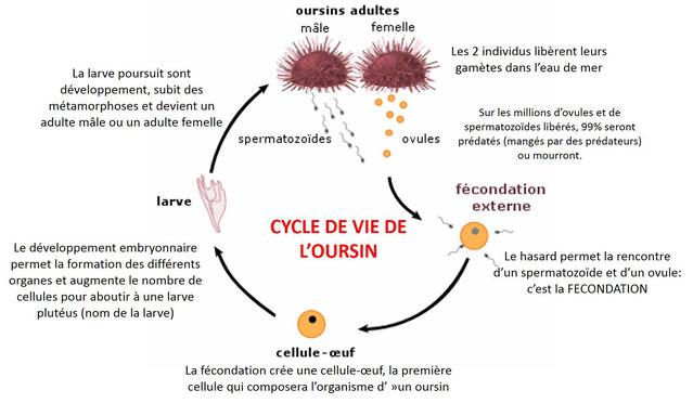 Cycle de vie des oursins. Cliquer sur l'image pour l'agrandir. Source: maxicours