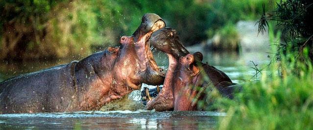 Ippopotami in combattimento