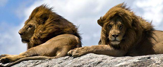 Leoni Masai negli altipiani del Serengeti