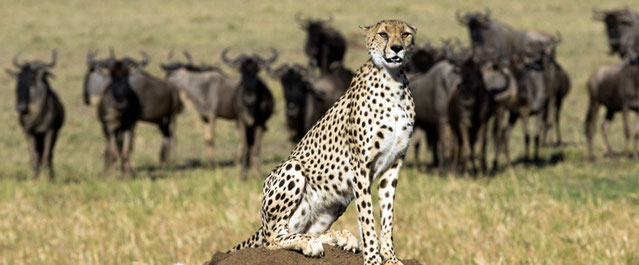 Ghepardo. Riserva Masai Mara, Kenya