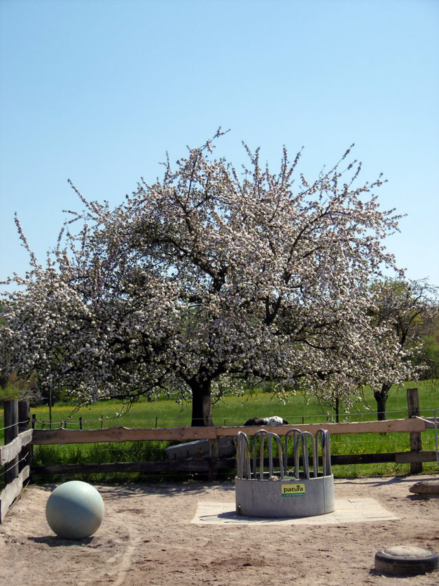 Unser Apfelbaum :o)