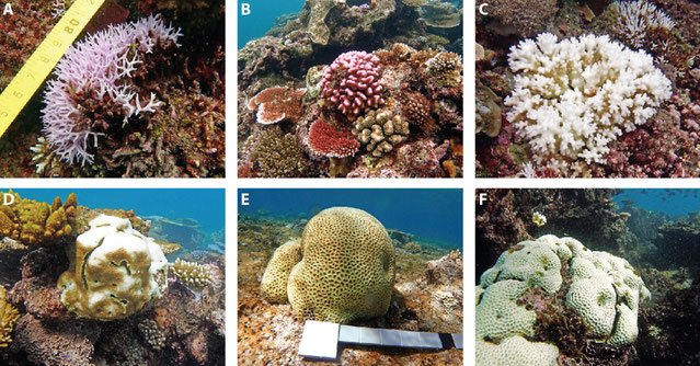 Bleaching responses vary between coral types. For example, corals such as Seriatopora (A), Stylophora (B) and Pocillopora (C) are more sensitive to heat stress than the more tolerant types such as Goniastrea (D), Favia (E) and Favites (F). Images: N. Cant