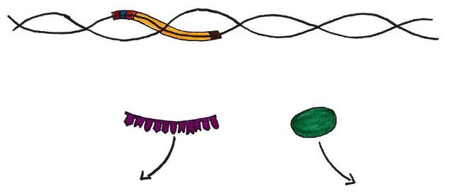 Abb. 4: Termination bei der Transkription (Proteinbiosynthese)