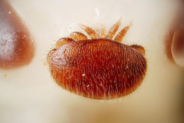 Varroa destructor, Varroa auf dem Kopf einer Nymphe, Bienenverein, Bienenzuchtverein Merkstein, Biene, Merkstein, Imker, Imkerin, Honig,