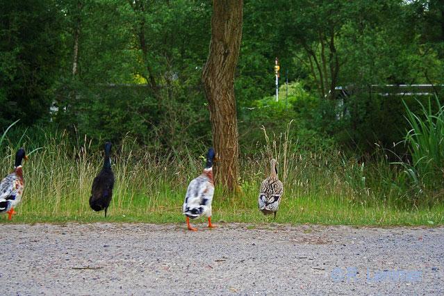 Laufenten im Ferienpark Heidenau