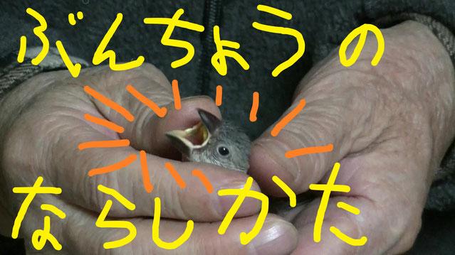 文鳥(ぶんちょう)重さ 寿命