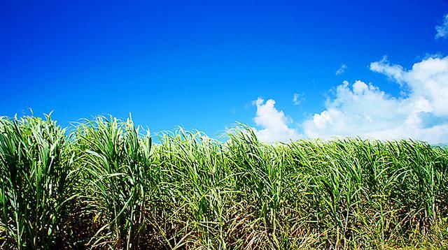 本和香糖は「沖縄のさとうきびのみ」を原料糖にした国産砂糖です