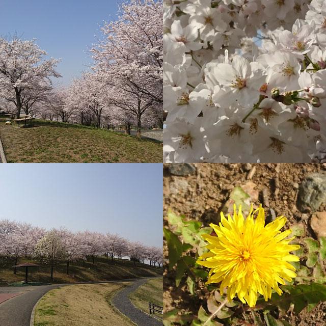 さくら 桜 サクラ タンポポ 八王子山公園