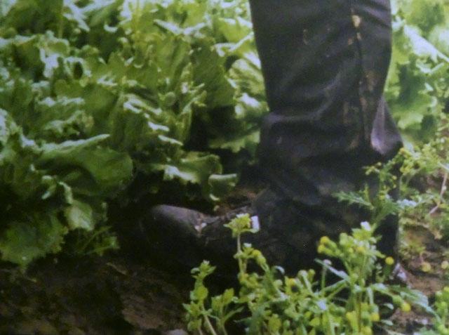 Senecio vulgaris im Salatfeld: Pollen und Samenbelastung !
