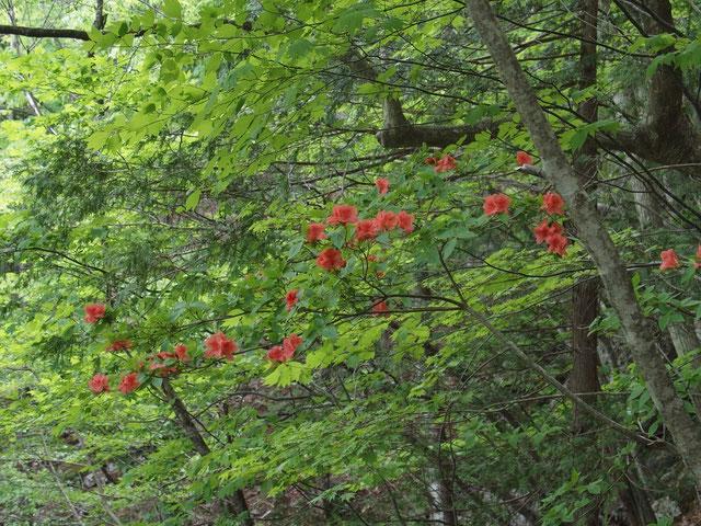 ヤマツツジと思われる。花の付きようといい花色といい今日のお気に入りの一枚です