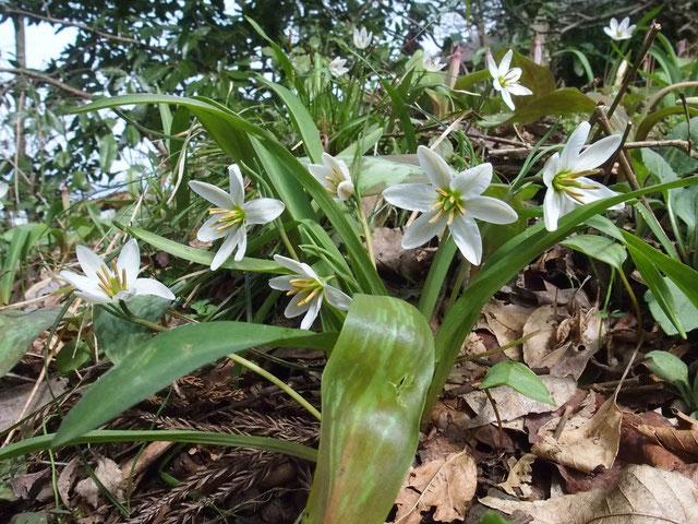 登山道脇のヒロハノアマナが今を盛りとばかり咲いています