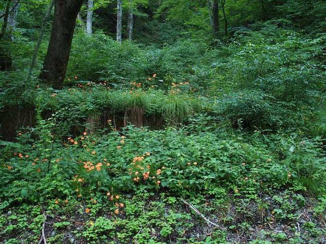 フシグロセンノウ  こんなに沢山の群生を見るのは初めてです。