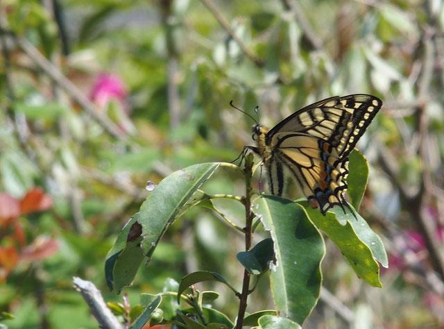 ギフチョウ・・・頻繁に飛んで来てツツジに止まったりこの木で羽根休みしたり。