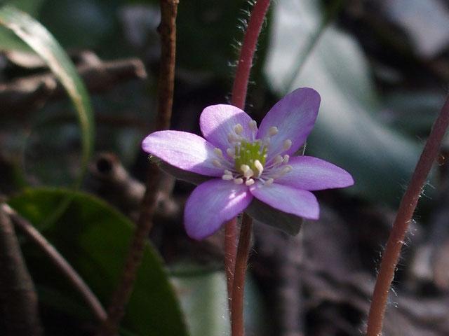 ごくわずかながら薄いピンク色の花も見かけます。