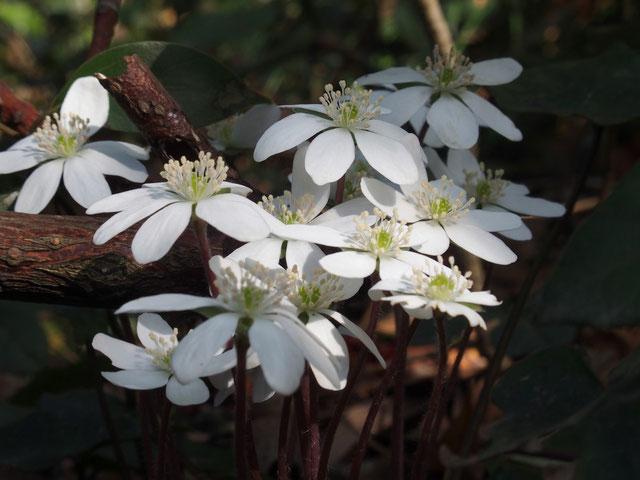全体的には花の盛期は過ぎていたが、このように元気な花もまだ残っていました。