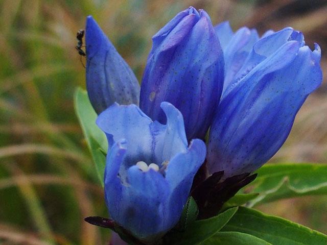 リンドウ 登山道わきに沢山あるがまだ開花直前でした