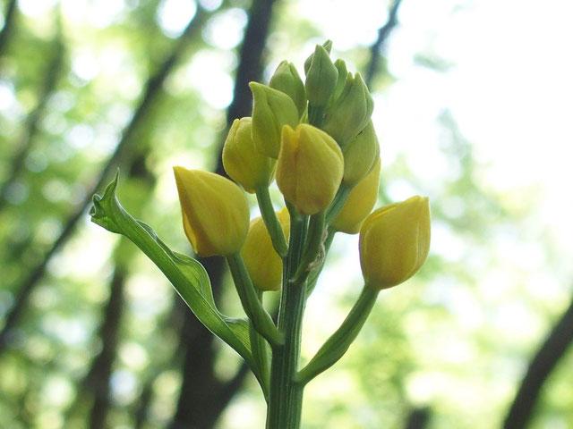 今日の目当てはこのキンラン。予想より早い開花ですがやっぱり花びらの全開はない。