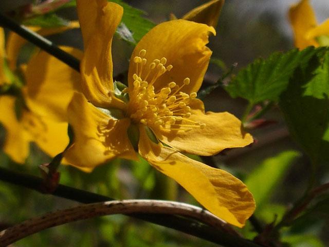もうヤマブキも咲き出しています。
