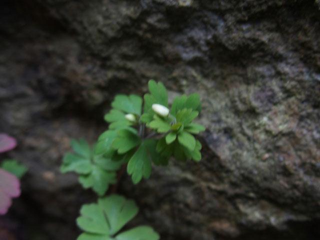 ピンボケのヒメウズ。何時もは花のアップ写真ばかり。こんな小さいのは初めtです。
