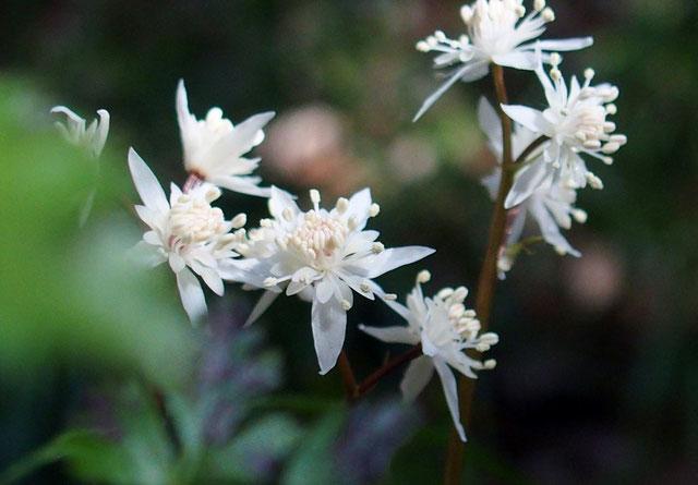 セリバオウレン                                              薬草園の山側にかなり栽培している。まだ開花したばっかりでそれほどでもないが、満開時は一面白色に染め見ごたえあるそうです。