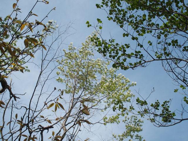 ザイフリボク・・・やっぱりもう咲いていました