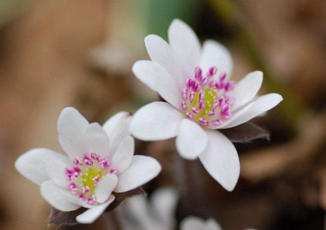 ミスミソウ(ユキワリソウ)清楚な花です。しかし、本当に雪を割って咲きだす力強い一面も。