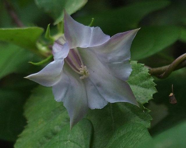 沢山花芽を付けている内の一番花です