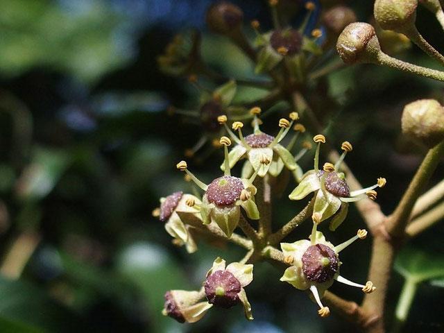 名前は失念 :つる性の木でたくさん花芽を付けている。ほんの一房が咲き出した。