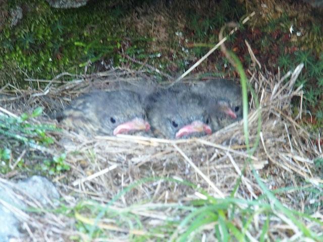 イワヒバリの赤ちゃんのようです。親鳥はアッと言う間にえさを与えまた飛んでいく