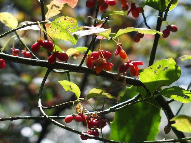 コマユミ・・・この木もたわわに実を付けていた