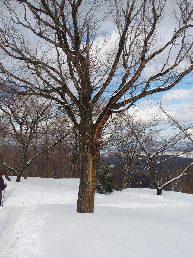 山頂の木に落雷の爪痕がありました。