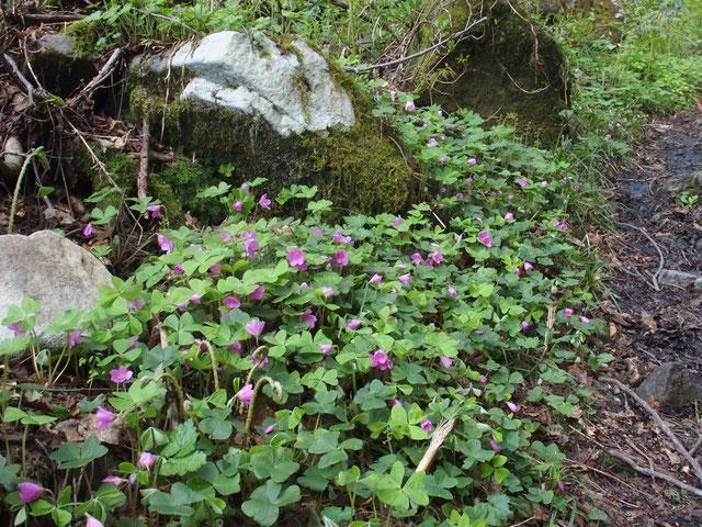 登山道わきにピンクのミヤマカタバミが何カ所も群生しています