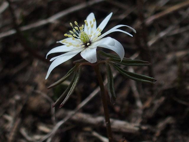 アズマイチゲの咲初め・・・まだ葉っぱが開かないうちから花はしっかりと開いている