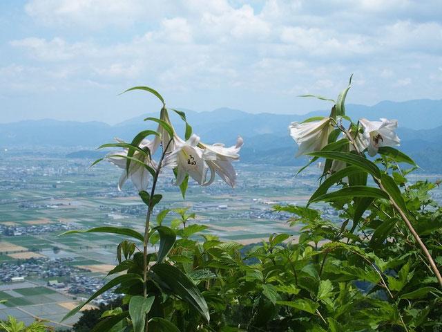 どうですか・・・ササユリの誇らしい咲きっぷり。