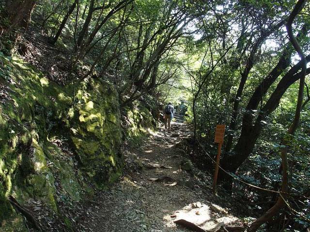 急峻な斜面だがジグザグに登山道を付けていて苦にはならない。上部の尾根は急です。               植生は常緑樹がほとんどで林床は陽が差し込まず、したがって下草もほとんどなく草花は期待できそうもない。