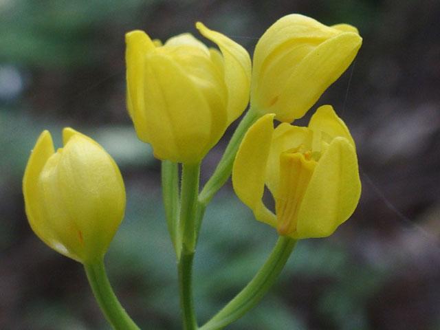 新しい場所で見つけたキンラン・・・花びらも開き加減でうつくしい