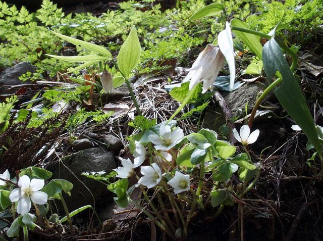 ミノコバイモとミヤマカタバミが寄り添って咲いていた