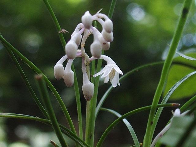 リュウノヒゲ・・・この草もなかなか花を付けませんね