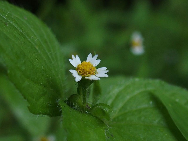 アイノコセンダングサと思われます                                  ずいぶん調べましたが、ドンピシャリの写真は見つからず、特徴を総合して同定しました。このようにきれいな山の形をしたガクを持つ花は見つかりませんね。