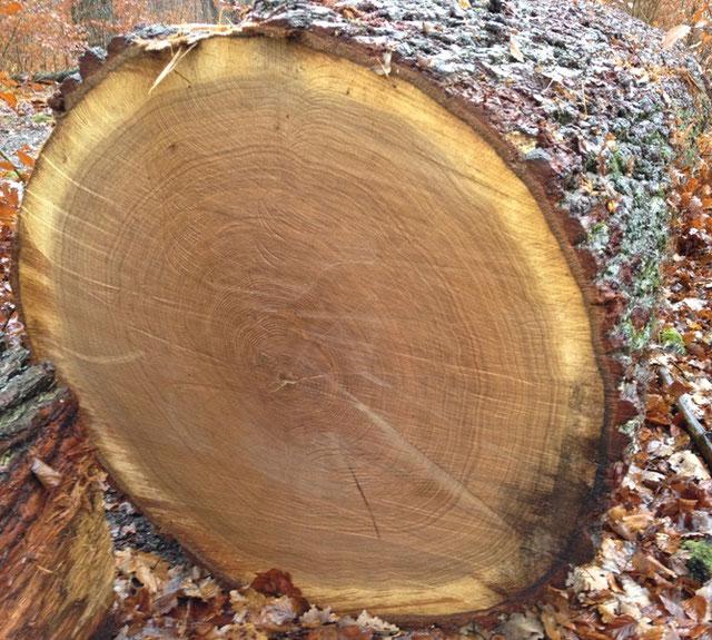 Wertvolles Eichen-Stammholz